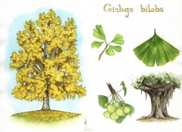 The Life Upgrades - Gingko biloba
